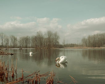 Swans in Lake Wildlife photo, White swans photography, Light green