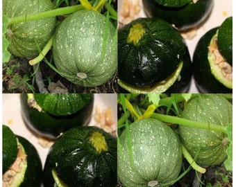 20 x ROUND ZUCCHINI Squash seed - Very PRODUCTIVE - Perfect 4 stuffing - Heavy producer Bush Type Plants - 45 - 55 Days