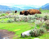 Yellowstone Bison | Grand Teton National Park | Large Buffalo | Scenic Mountain Landscape | Wildlife | Outdoor Wilderness Photo | 8x10 Print