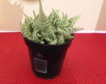 Medium Succulent Plant Aloe Blizzard PPA