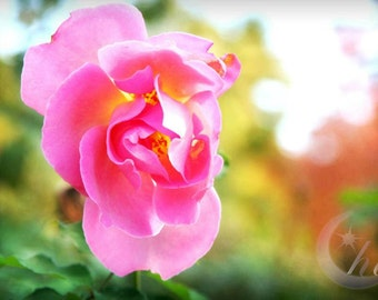 Nature Photography.  Flower Garden Rose Photography.  Spring and Summer Photography. 8x12 Print