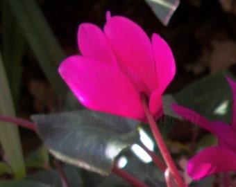 Pink Cyclamen Flowers - Digital Download Image - Desktop Wallpaper - Nature