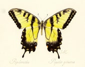 16 Tiger Swallowtail Butterfly Card