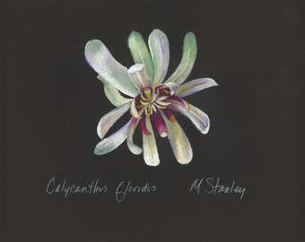Print of original pastel drawing of a bloom from the carolina sweetshrub