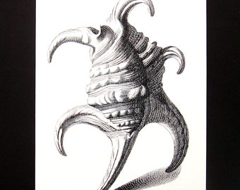 Shells Print - Spider Conch  Shell - Vintage 1979  Book Page - Black and White