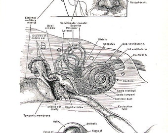 Medical Print - The Human Ear - 1951 Vintage Book Page from Medical Dictionary - 9.5 x 6 Black and White