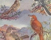 Vintage Bird Print, Book Plate, Mockingbird, Sage Thrasher, Curve Billed Thrasher, Allan Brooks, Antique Bird Illustration, 1930s