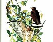 Bird Print - Broad Winged Hawk - Vintage Art Print - Audubon Book Plate, Print - Hawk - Birds of America - John James Audubon - 1970s