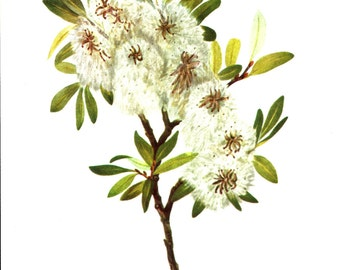 Flower Print - Drummond Willow - Vintage Art Print - Botanical Book Plate, Print - Wild Flowers of America - Willow - Mary Vaux Walcott