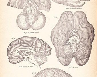 1892 Human Anatomy Print - Vintage Antique Medical Anatomy Art Illustration for Doctor Hospital Office