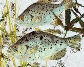 """Speckled Perch - """"Hideaway"""" - Gyotaku Fish Rubbing - Limited Edition Print (18.75"""" x 26"""")"""