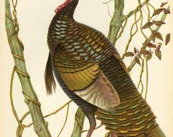 SALE Vintage Book plate Birds by Menaboni of Eastern Wild Turkey Buy 3, get 1 Free