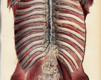 1844 Antique ANATOMY print by Lemercier, fine lithograph of  blood vessels, intercostal muscles, rib cage, clavicles, spine, sacrum.