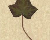 Pressed Flower Art Print -Ivy I
