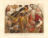 1886 Finches, Astrilds, Weavers, Singing Birds Original Antique Chromolithograph to Frame
