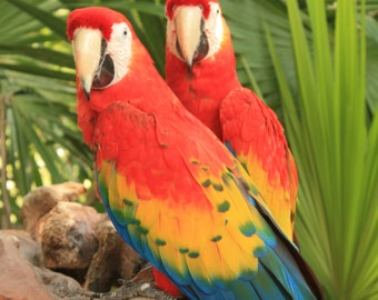 Beautiful Scarlet Macaws