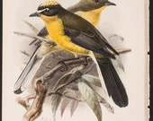 Antique Bird Print-Yellow-crowned Whitestart,The Ibis, a magazine of general ornithology Date 1898  Author:Philip & William Lutley Sclater