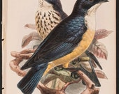Bird, Print,Antique-Sharpe's Starling,The Ibis, a magazine of general ornithology Date 1898 Author:Philip & William Lutley Sclater