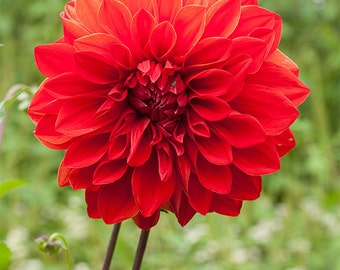 Red Dahlia 6 -- Fine Art Floral Photography Print -- Photo, Home Decor, Flowers, Art
