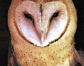 Barn Owl Portrait Photo - 5x7  Bird Nature Photography Soft Yellow Brown Colors Fine Art Print