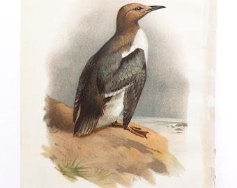 Guillemot Antique Bird Print, Vintage Seabird Illustration