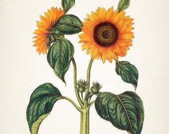 Sunflower #2 8x10 (Helianthus annuus) -  Fine art print of a vintage natural history antique botanical illustration