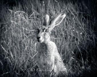 Wild-Eyed JackRabbit - Nature Photograph - Mammal Art - Rabbit Art - Rabbit Art Print