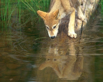 Fine Art Print, Wolf Pup, Tundra Wolf, Montana, Wildlife Photograph, Reflection, Children's art, Wall decor