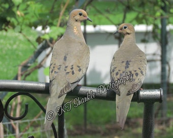 Mr. and Mrs. Mourning  Dove