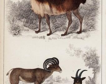 1840 Antique GOAT print, goats and llama, hand colored. Original antique print