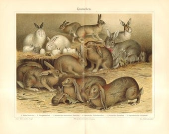 1904 Rabbit Breeds Original Antique Chromolithograph to Frame