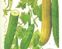 Vintage Botanical Print Antique CUCUMBERS, plant print botanical print, bookplate art print, vegetables plants plant wall