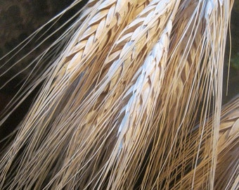 BLONDE WHEAT naturally DRiED FLOWER Bunches