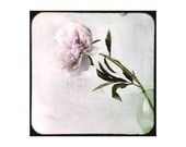 Peony - Fine art photography - Floral art  - Home decor - 5 x 5 - Pink