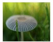 Coprinus Mushroom Photograph Mushroom Print Natural History Photography Prints Nature Photography Decor Woodland Scene Fungi
