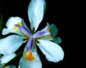 dietes grandiflora SEEDS, fortnight lily, large wild iris flower,50 seeds