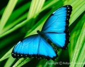 Special Listing--Blue Morpho Butterfly II - Matted, Mounted and Signed 8x10 Fine Art Photograph