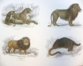 Full Color Illustration Plate of Lion, Tiger, Leopard and Jaquar from William Jardine's Naturalists Library -- Copyright free -- Double sid