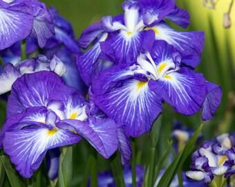 Floral Photograph Japanese Iris