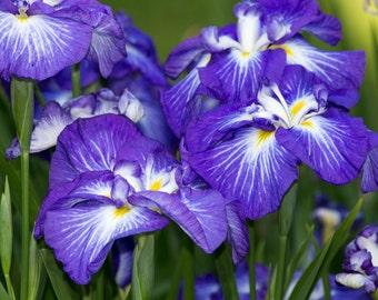 Art Download Japanese Iris Digital