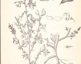 1901 Botany Print - Sarothamous Scoparius - Vintage Home Decor Plant Art Illustration Great for Framing 100 Years Old