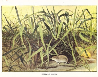 1926 Animal Print - Common Shrew - Vintage Antique Natural History Home Decor Art Illustration for Framing
