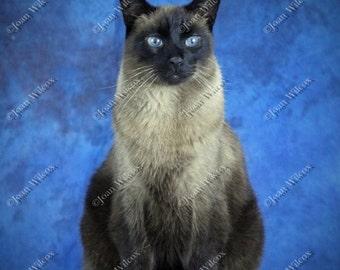 Yoshi the Siamese Kitty Cat Kitten Portrait Original Fine Art Photography Print