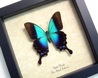 Framed Butterfly Rare Blue Glosswing Butterfly Framed Papilio Pericles 8028