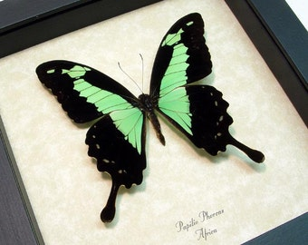 Great Christmas Gift Real Framed Green Papilio Phorcas Butterfly Display 157
