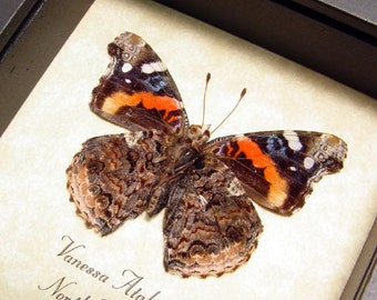 Real Framed Vanessa Atalanta Red Admiral Butterfly Shadowbox 8156
