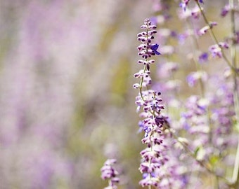 Nature Flower Photograph Print - Lavender Tail - floral pastel purple lilac grown golden yellow tan macro natural fall autumn plant blue