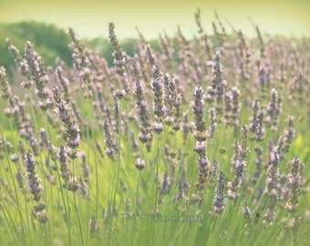 Dreamy Photo - Dreamy Photography - Lavender Photography - Lavender - Fine Art Photography