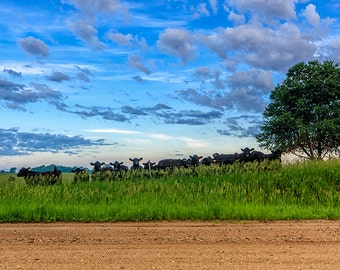 Cow Blues - Landscape Photography, Nature Photography, Prairie, Rural, Summer, Blue, Sky, Clouds, Cows, Iowa, Fine Art Print