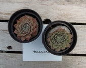 Hullabaloo Sempervivum Plant, Hens and Chicks, Extremely Cold Hardy Succulent